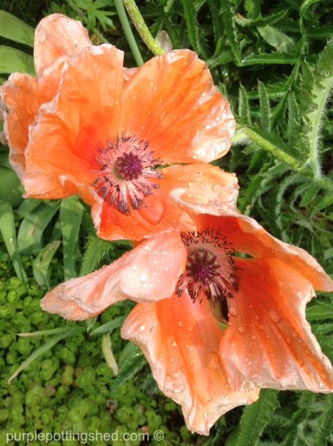 Oriental poppy 9.jpg