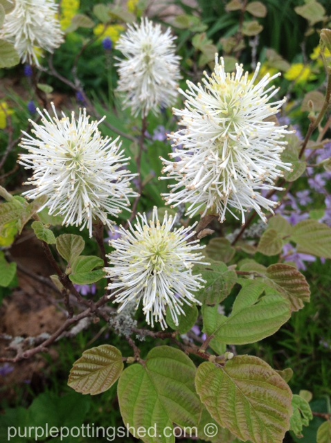 Bottlebrush or fothergilla, blooming.jpg