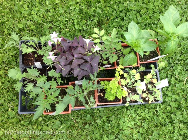 Second stop, kale, parsely, tomatoes, peppers, oxalis.jpg