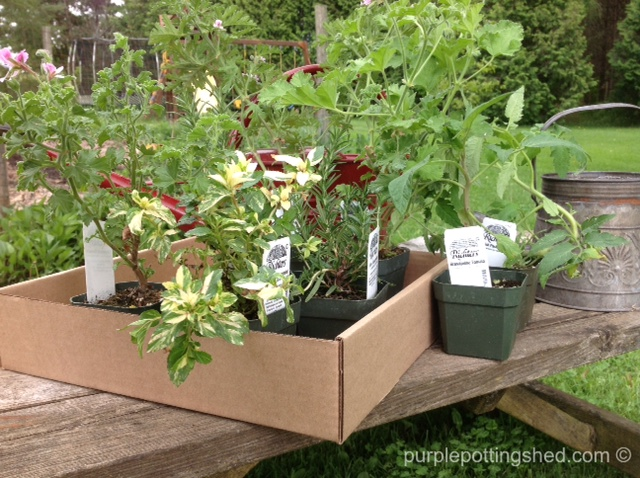 Third stop, tomatoes, rosemary, mint, scented geraniums.jpg