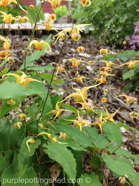 Barrenwort or epimedium.jpg