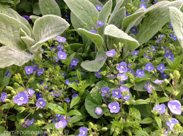 Veronica or ground speedwell, blooming.jpg