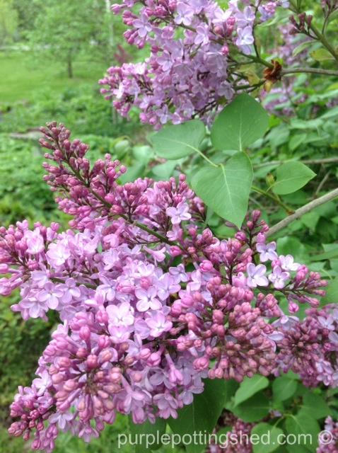 Lilac bloom.jpg