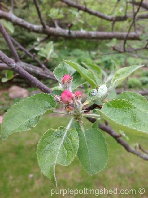 Apple blossom bud.jpg