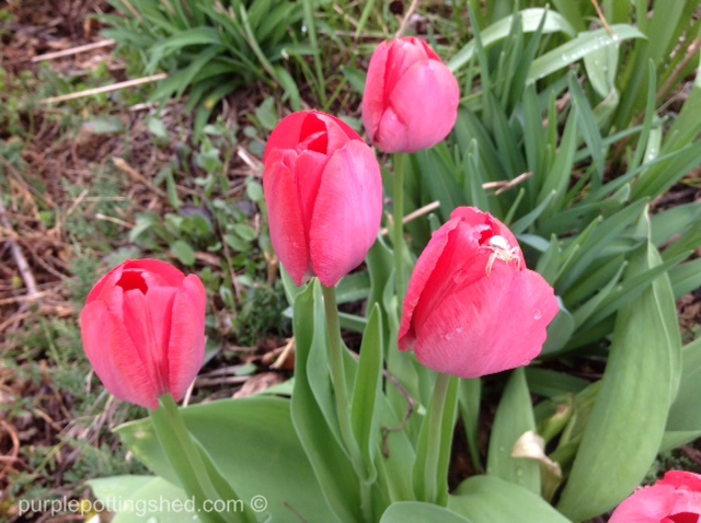 Tulips with spider.jpg