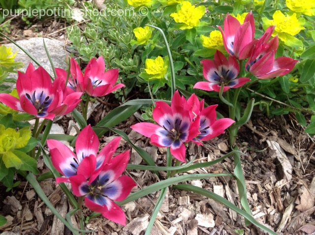 Tulips, dwarf variety in pink and blue.jpg