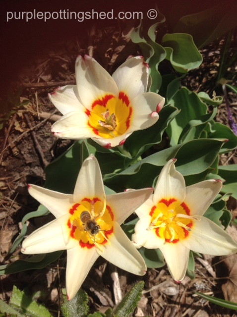 Tulips, early blooming with a bee!.jpg