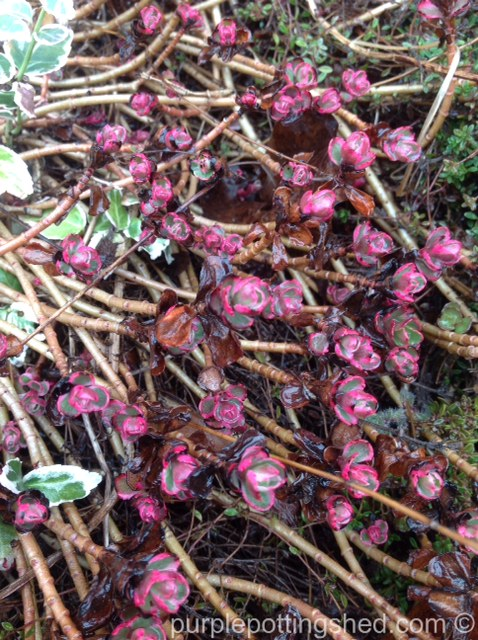 Sedum, rosebud sprouts 1.jpg
