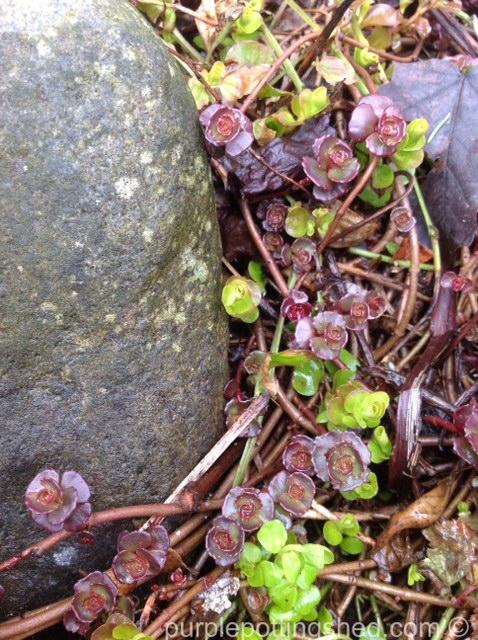 Sedum, rosebud sprouts 6.jpg