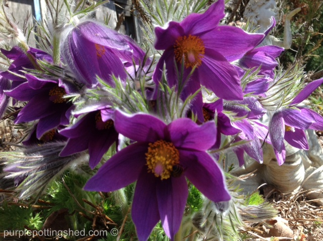 Pasque flower.jpg