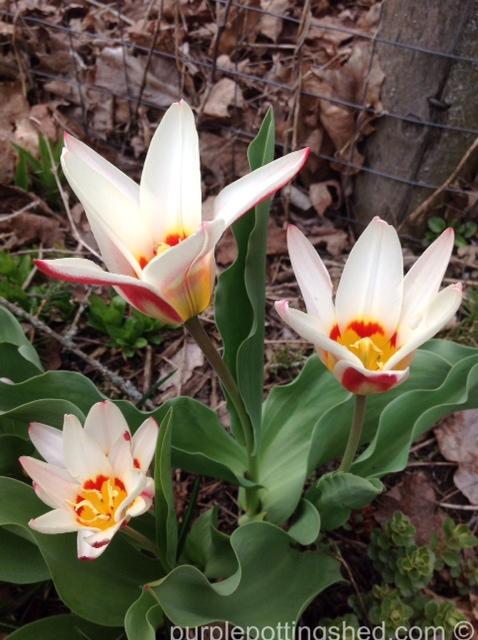 Tulips, early blooming.jpg