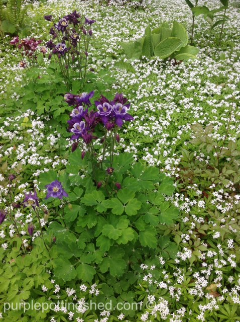 Columbine with sweet woodruff.jpg