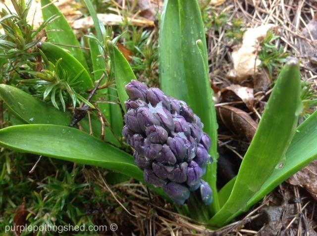 Hyacinth, fat bud.jpg