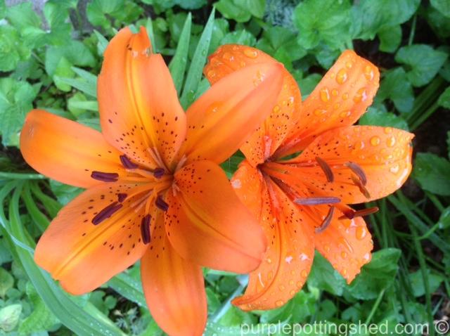 Lily, Asiatic, in orange.jpg