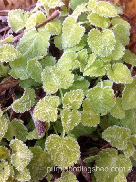 Lamium with frost.jpg