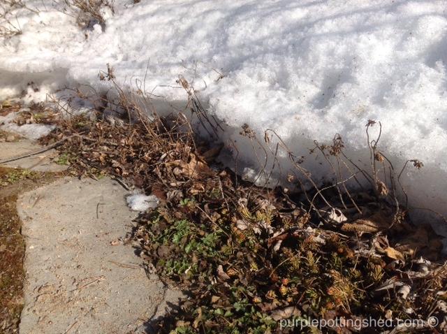 Snow receding from garden edge.jpg