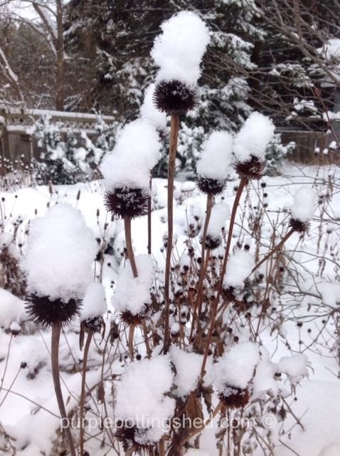 Coneflower seed heads.jpg