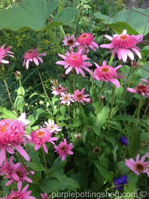 Coneflower, double pink.jpg