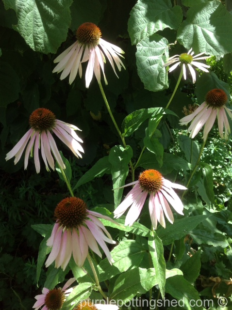 Coneflower, soft pink.jpg