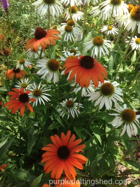 Coneflowers in white and tangerine.jpg