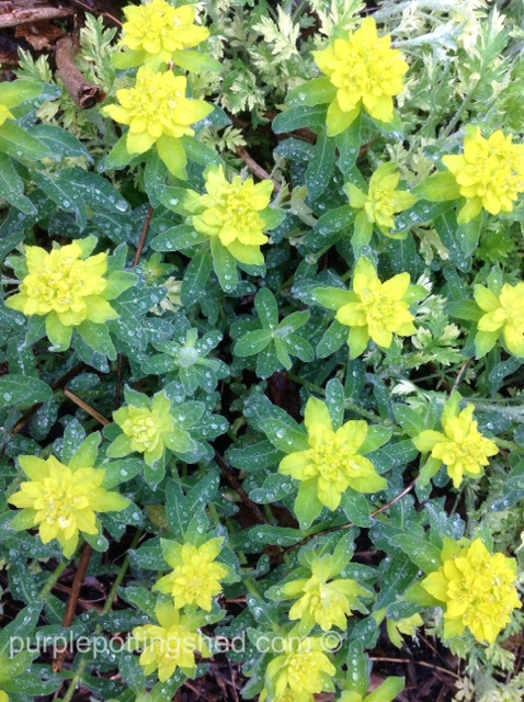 Cushion spurge in bloom.jpg