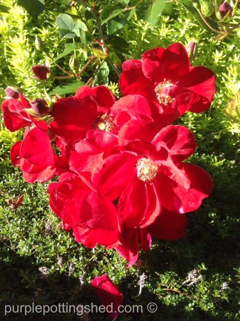 Shrub rose, red.jpg