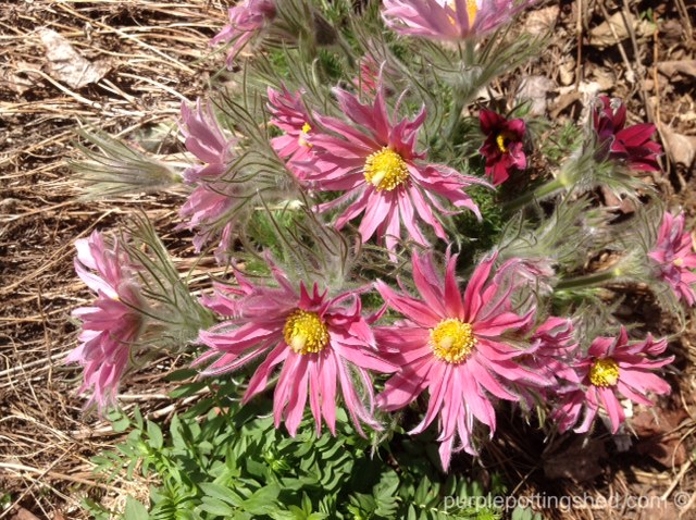 Pasque flower, pink.jpg