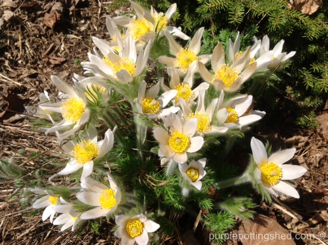 Pasque flower, white.jpg