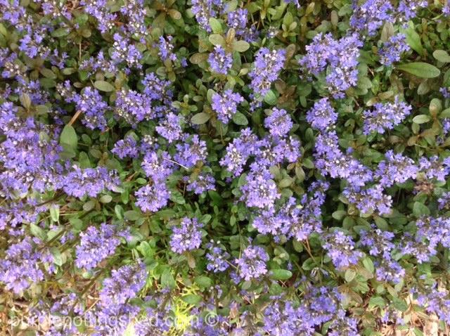 Bugle weed carpet.jpg