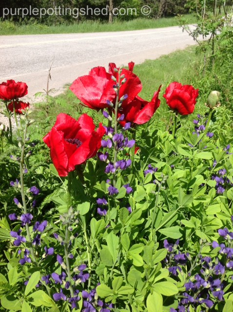 Ruby red poppies and false indigo.jpg