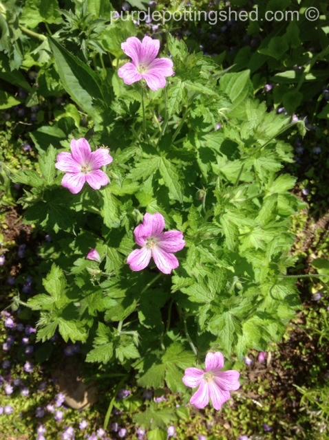Hardy geranium, pink.jpg