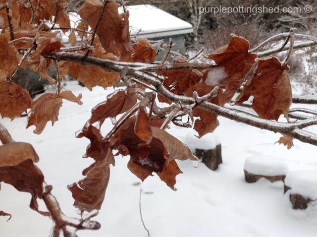 Iced maple.jpg