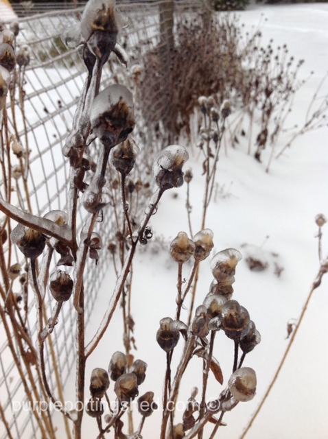 Iced balloon flower seedheads.jpg