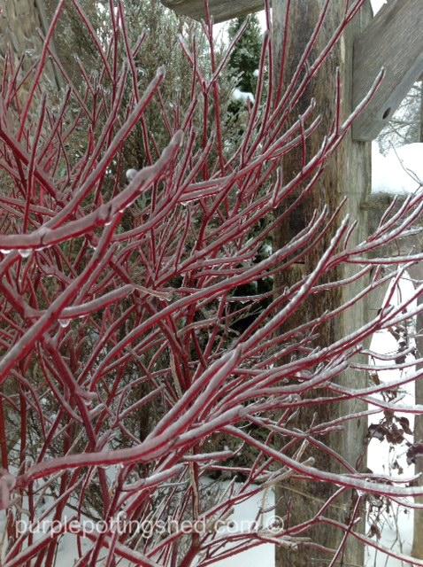 Iced dogwood.jpg