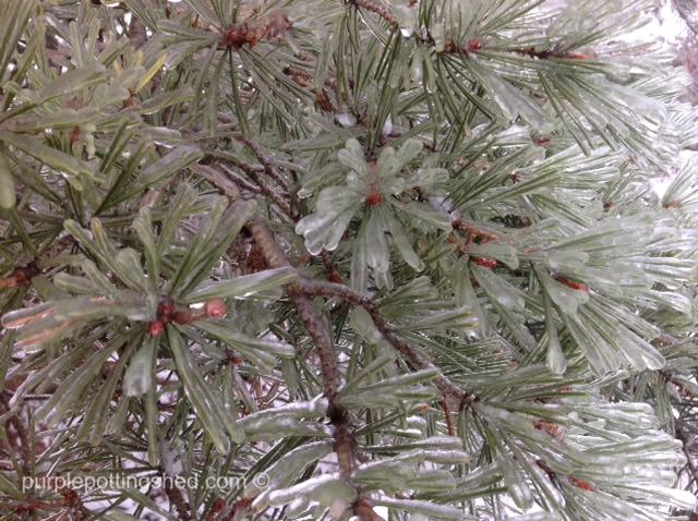 Icy pine.jpg