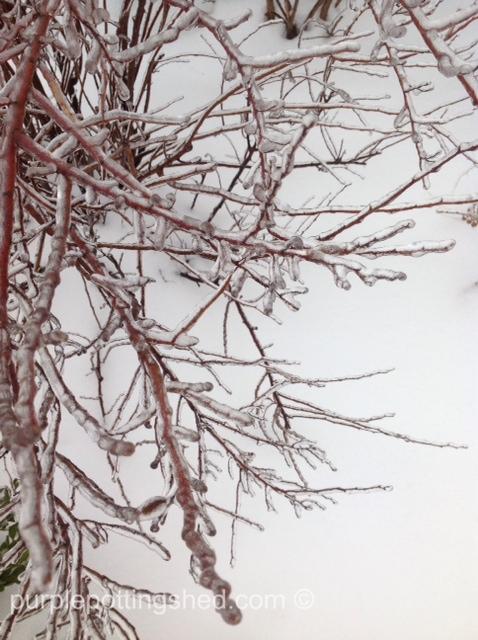 Iced potentilla.jpg