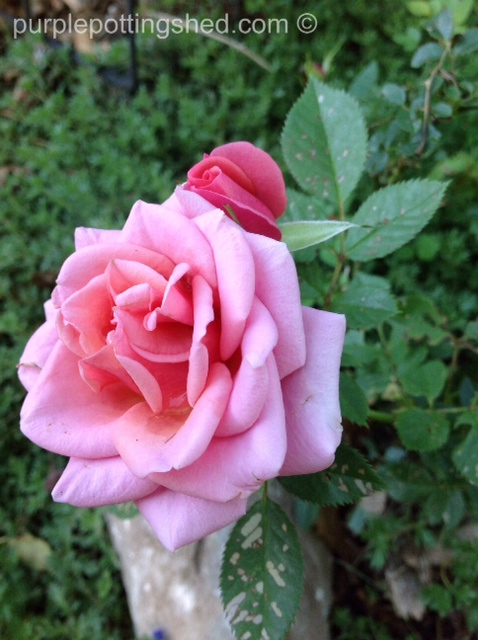 Mini rose with bud.jpg
