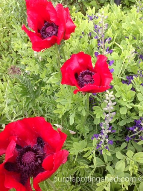Red poppies and false indigo.jpg
