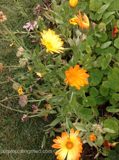 Calendula, blooms & seeds.jpg