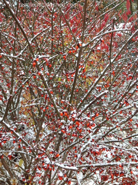 Burning bush berries with snow.jpg