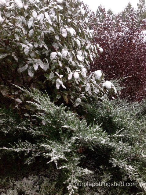 Shrubs with snow.jpg