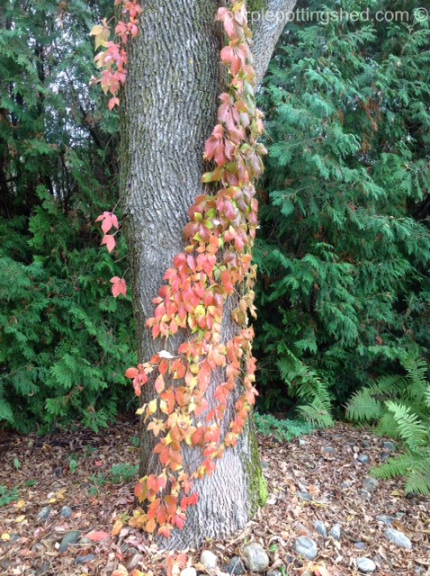 Tree with creeper.jpg