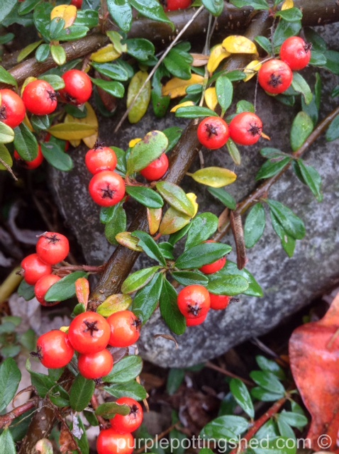 Cotoneaster berries.jpg