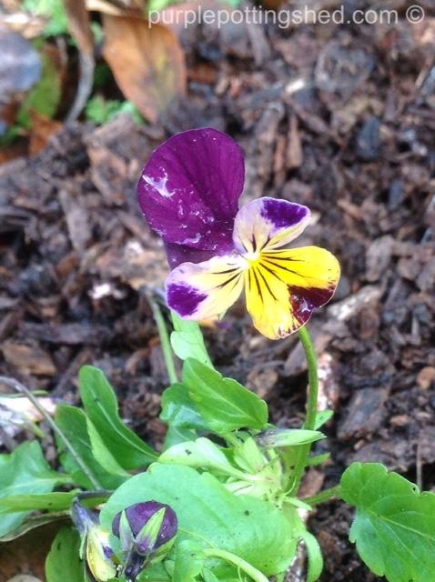 Viola in autumn.jpg