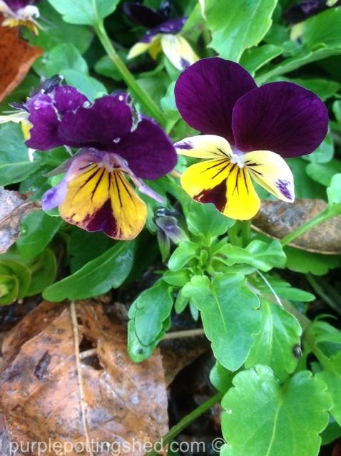 Viola pair in autumn.jpg