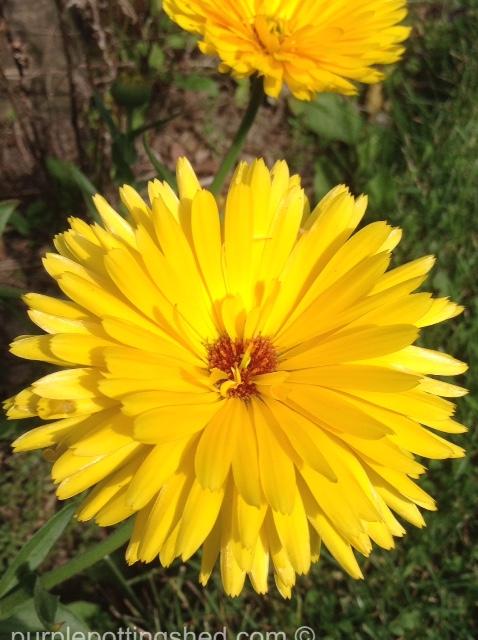 Calendula, double yellow.jpg