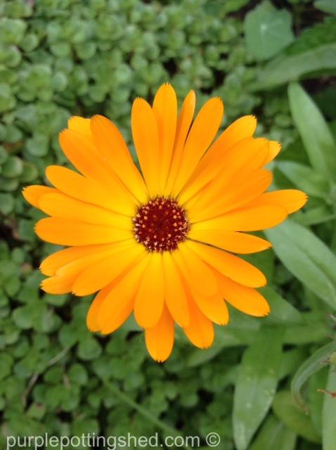 Calendula, single orange.jpg