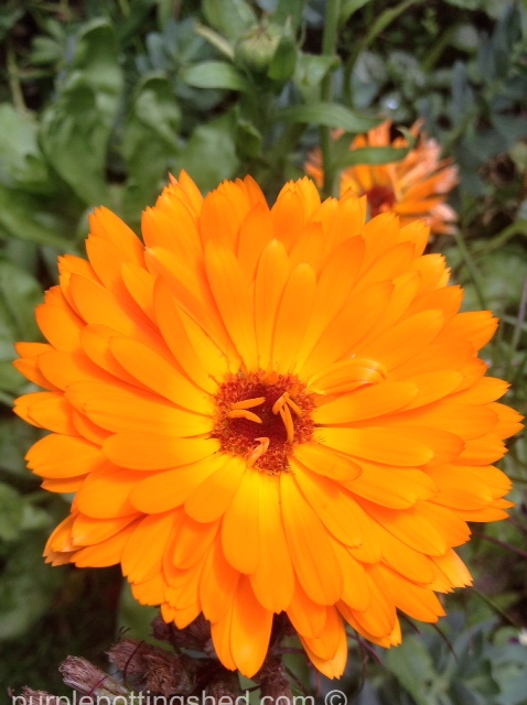 Calendula, double orange.jpg