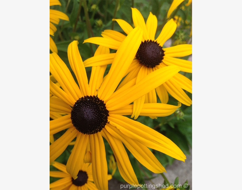 Rudbeckia, dreamy brown centers