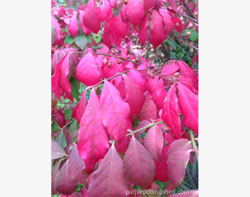 Burning bush, leaves